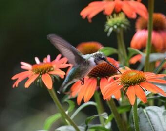 Hummingbird zeroing in on echinacea flowers