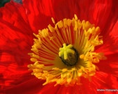 Red and yellow Flower Photo, red flower art, red flower decor, red wall art, bright wall art, red decor