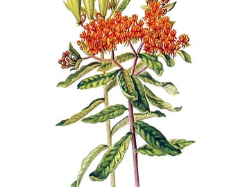 Butterfly Weed Flowers - Botanical Print - 1954 Vintage Book Page - 11 x 8