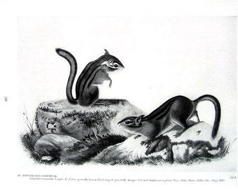 Vintage Audubon Animal Print - Townsend's Chipmunk - 1951 Vintage Book Page - Black and White