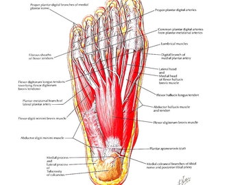 Anatomy Print - Muscles of the Sole of the Foot, First and Second Layer - Human Anatomy - 1989 Vintage Book Page - 12 x 9