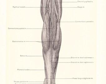 1899 Human Anatomy Print - Gastrocnemius Muscle of Leg - Vintage Antique Medical Anatomy Art Illustration for Doctor Hospital Office