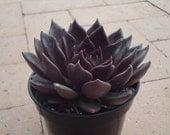 Eggplant Purple Echeveria Black Prince Succulent Plant