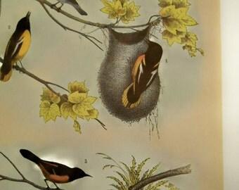 Vintage BALTIMORE ORIOLE Bird Print from Studer's Birds, Blue Bird, Fly Catcher, wall art, nature