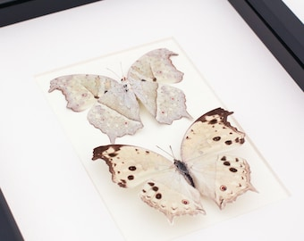 Real Framed Butterfly Display Mother of Pearl Salamis parnassus mounting