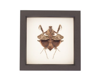 Real Framed Praying Mantid Insect Taxidermy