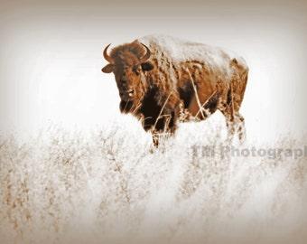 Buffalo - Bison - Brown and White Photo - Buffalo Photography - Wildlife Photo - Fine Art Photography