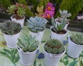 Reserved For Julie, 108 Succulents, 54 White Pails, 54 Silver Pails, DEPOSIT Has Been Paid, Ship March 21
