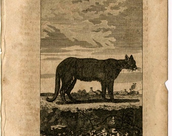 1808 the cougar original antique animal engraving print