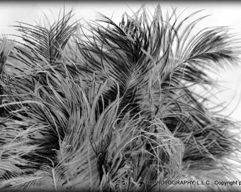 ACEO -blacka nd white photo; close up of feather duster - Feathers