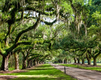 Spanish moss trees etsy for Landscaping plants south carolina