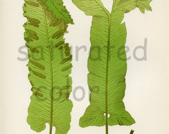 Antique Fern Chromolithograph ORIGINAL Print - Green Fern Frond - Antique 1880 Edward Lowe Fern - No. 53 - Chartreuse Feathery Woodland