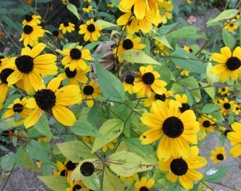 Free USA Shipping, 400 seeds, Black-Eyed Susan Seeds, Rudbeckia Hirta Seeds