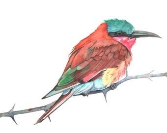 Carmine Bee Eater Watercolor Painting - print of watercolor painting. CBE2014. 5 by 7 size small print wall art print - bird art print