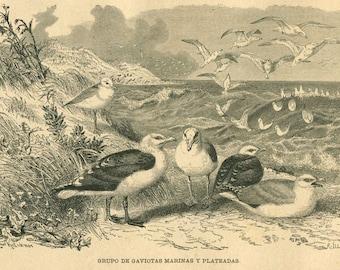 1883 Seagulls Bird Print Antique Engraving Brehms Tierleben, Home Decor, Retro Wall Decor