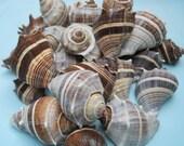 brown melongin seashells BEACH NAUTICAL DECOR craft shells