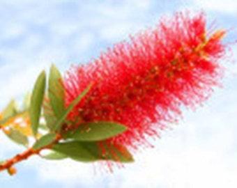25 Crimson BottleBrush Bush Seeds-1138