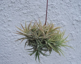 Tillandsia Ionantha Mexico Small Clump
