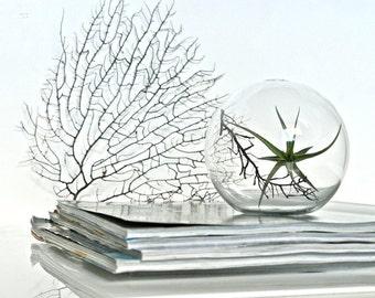 Air Plant Glass Orb Terrarium, Glass Centerpiece, Office Desk Plant, Round Glass Terrarium, Air Plant Centerpiece, Live Plant Terrarium