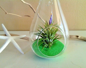 Air plant terrarium - Hanging glass globe - Air plants - Tillandsia - Teardrop glass terrarium - Green