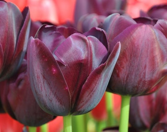 These beautiful purple tulips are set off wonderfully by the red back drop.