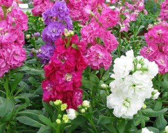 Heirloom 500 Seed Matthiola Incana Perfume Gillyflower Night scented Mix Flower Seeds B0087