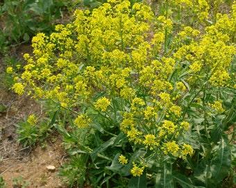 Heirloom 100 Seeds Isatis root Ban Lan Gen Banglangen Woad root Isatis indigotica Flower Seeds Perennials Garden Seeds T015