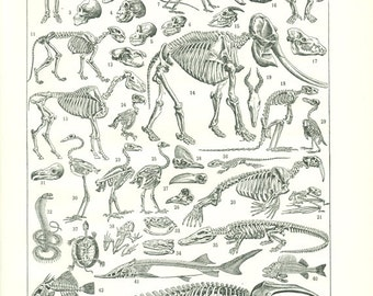 Skeleton print 1948 Vintage skeleton poster Vintage science print biology decor Biology art Skeleton art Skeleton poster Anatomy poster