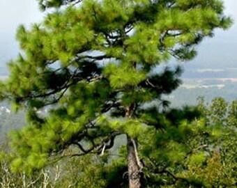 50 Longleaf Pine Tree Seeds, Pinus palustris