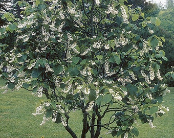 50 Fragrant Snowbell Tree Seeds, Styrax obassia