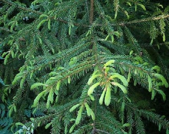 50 Korean Spruce Tree Seeds, Picea koraiensis