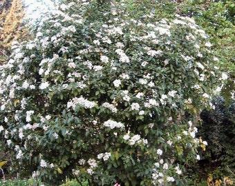 50 Laurustinus Viburnum Seeds, Viburnum tinus