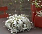 Medium/Large Xerographica Air Plant - The Queen of Air Plants - 30 Day Air Plant Guarantee - Air Plants for Sale - FAST SHIPPING