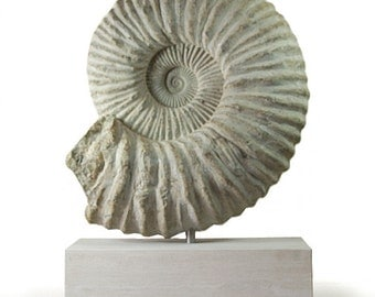 Fossil Ammonite on Base