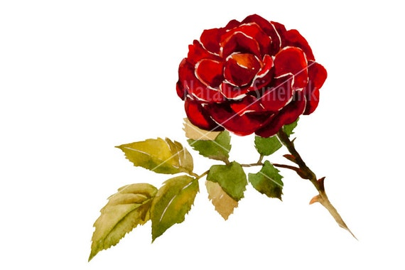 Red rose branch digital download from original watercolor illustration, cottage chic style painting clip art