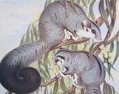 ANTIQUE 1934 book page AUSTRALIAN Flying Phalanger - native animal print, drawing, illustration