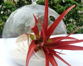 Rocket Red Air Plant - Hanging Glass Terrarium with White Sand and Abdita on the Glittering Half Sea Shell