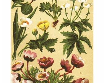 Natural History Print Of Antique Alpen Flowers  Original