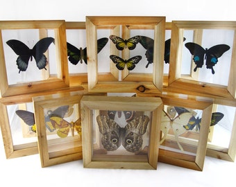 framed real butterfly in natural wood double glass frame - Double Glass Frame