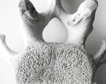 Whale vertebra