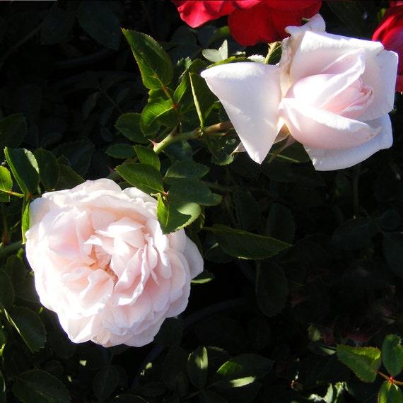 new dawn rose plant climbing rose bush by freshgardenliving. Black Bedroom Furniture Sets. Home Design Ideas