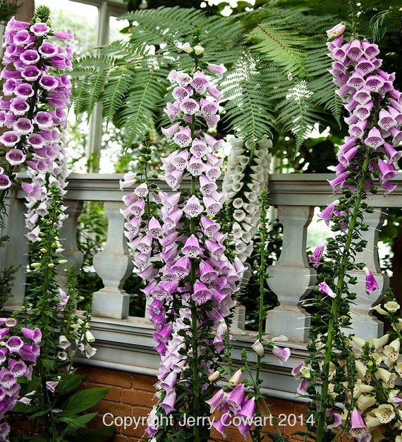 Flowers Similar To Lilies: Items Similar To Pink Spring Foxglove Flowers In Beautiful