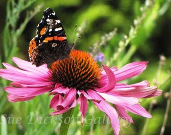 Red Admiral Butterly on Flower Fine Art Digital Photography