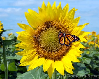 Sunflower Power, large original photograph of monarch butterfly and honeybee on a sunflower