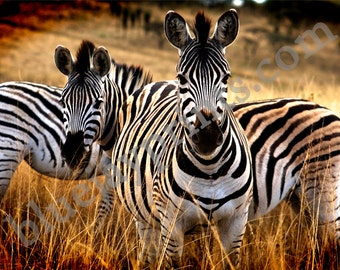 Two Zebras Safari Canvas Print