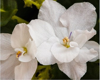 flower photograph flower photography fine art photography nature wall art print wall decor, White Violets 140238