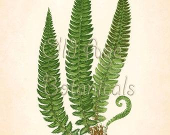 Fern Print Lowe 11x14 Botanical Vintage Antique Art Plate ASPIDIUM LONGITIS Green Leaves Plant Nature Botany Room Wall Decor LFC0301