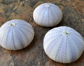 Purple Sea Urchins (3 pcs.) - Strongylocentrotus Purpuratus