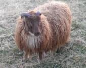 Icelandic Lamb's Wool Roving, Moorit (brown) 4oz     Free Shipping!!