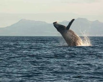 Photograph of Breaching Whale, Wildlife Photography, Wildlife Photo, Whale Decor, Kodiak Alaska Photography, Humpback Whale Photo 4x6-24x36